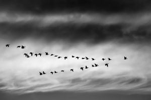 Migrating geese in a V formation