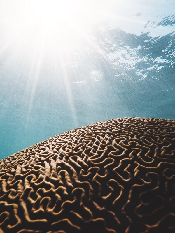 Brain coral under the sea
